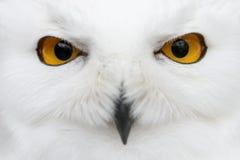 Olhos maus da neve - por nevado do close-up do scandiacus do bubão da coruja imagem de stock