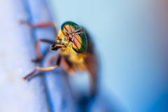 Olhos muito bonitos de um inseto do verão foto de stock