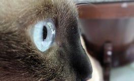 Olhos redondos grandes do gato Foto de Stock