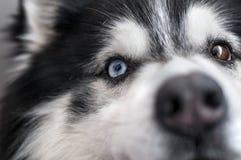 Olhos roncos do cão Fotos de Stock