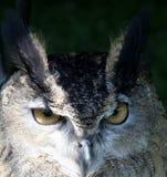 Olhos sábios das corujas Fotos de Stock