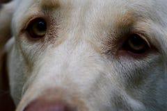 Olhos tristes de um amado foto de stock royalty free
