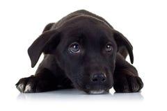 Olhos tristes de um cão de filhote de cachorro disperso pequeno preto Imagens de Stock