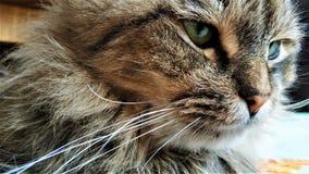 Olhos verdes de um gato do fim siberian acima fotografia de stock
