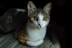 Olhos verdes do gato Foto de Stock