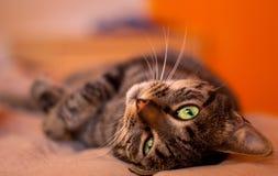 Olhos verdes do gato Imagem de Stock Royalty Free