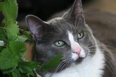 Olhos verdes do gato cinzento Fotografia de Stock Royalty Free