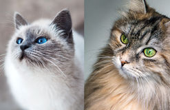 Olhos verdes dos olhos azuis Foto de Stock Royalty Free