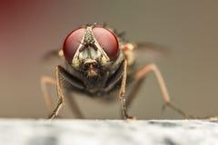 Olhos vermelhos Imagens de Stock Royalty Free