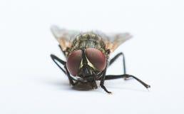 Olhos vermelhos da mosca preta Imagem de Stock