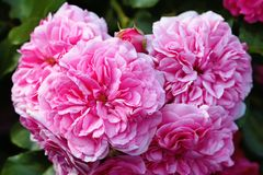 Olia roses, the Provence rose or cabbage rose or Rose de Mai closeup. Olia roses, the Provence rose or cabbage rose or Rose de Mai stock images