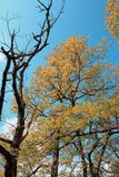 Oliage und Niederlassung der geschlechtsreifen Eiche im Herbst Stockfotos