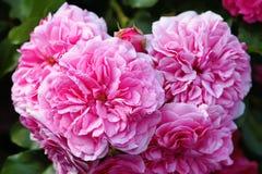 oliarosor, den rosa Provence eller rosa eller Rose de Mai closeup kål arkivbilder