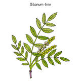 Olibanum-boom Boswellia-sacra, of frankincens, aromatische boom Royalty-vrije Stock Foto