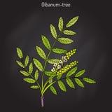 Olibanum-boom Boswellia-sacra, of frankincens, aromatische boom vector illustratie