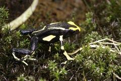 Olie Maria Dendrobates jadu strzałki żaba Fotografia Stock