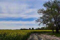 Olieverven op een raapzaadgebied met blauwe hemel en wolken Het gele gebied in bloei, een gebroken landweg leidt tot het royalty-vrije stock foto's