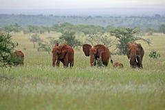Olifant Royalty-vrije Stock Foto's