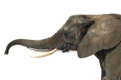 Olifant royalty-vrije stock afbeelding