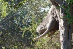 Olifant achter boom Stock Fotografie
