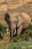 Olifant (africana Loxodonta) Stock Afbeelding