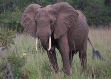 Olifant in Afrika Royalty-vrije Stock Foto's
