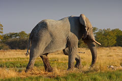 Olifant in Afrika Royalty-vrije Stock Afbeeldingen