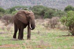 Olifant in Afrika Royalty-vrije Stock Afbeelding