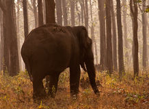 Olifant alleen in hout Stock Foto's