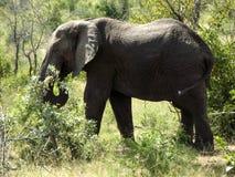 Olifant bij het Nationale Park van Kruger Stock Afbeelding