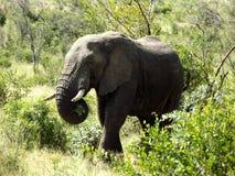 Olifant bij het Nationale Park van Kruger Stock Afbeeldingen