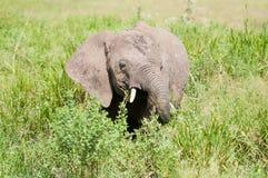 Olifant bij het nationale park van Serengeti, Tanzania, Afrika Royalty-vrije Stock Foto's