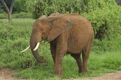 Olifant bij samburu Stock Foto