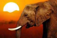 Olifant bij Zonsondergangachtergrond royalty-vrije stock fotografie