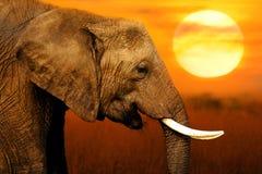Olifant bij Zonsondergangachtergrond royalty-vrije stock afbeeldingen