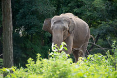 Olifant in bos Royalty-vrije Stock Afbeelding