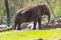 Olifant in de dierentuin stock afbeelding