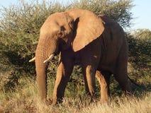 Olifant in de Madikwe-Spelreserve, Zuid-Afrika Royalty-vrije Stock Foto