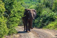 Olifant in de volledige groei, die op theElephant in de volledige groei wandelen, die op de weg wandelen Safari in nationale park stock afbeelding