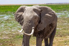 Olifant in de wildernis wordt bevlekt die stock foto