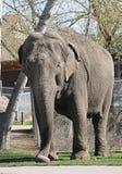 Olifant die buiten bij dierentuin loopt Royalty-vrije Stock Afbeeldingen