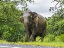 Olifant die de weg in Sri Lanka kruisen Stock Foto