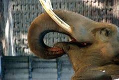 Olifant die in dierentuin eet Royalty-vrije Stock Foto's