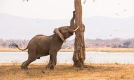 Olifant die een boom voor zaden schudden stock fotografie