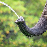 Olifant die een drank nemen Stock Fotografie