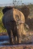Olifant die een modderbad nemen bij waterhole Stock Fotografie