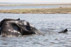 Olifant die een rivier kruist Het nationale park van Chobe, Botswana stock afbeeldingen