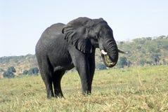 Olifant die gras eet Stock Afbeelding