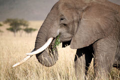 Olifant die gras eet Stock Fotografie
