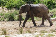Olifant die in het droge zandige rivierbed lopen in het park stock foto's